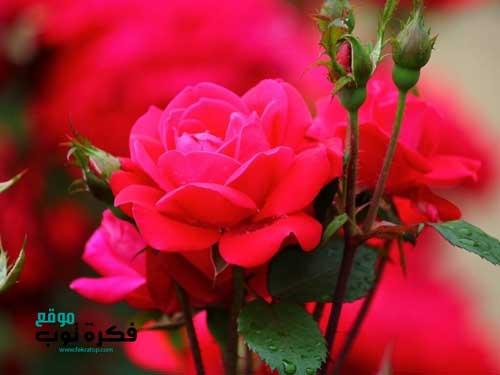 أجمل صور زهور طبيعية خلفيات ورود جميلة جدا جودة عالية Hd 4 Red Flowers Flowers Glitter Chevron