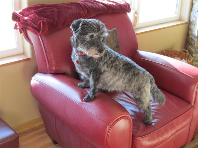 Lost Dog Schnauzer Rochester Mn United States 55904 Losing A Dog Dogs Losing A Pet