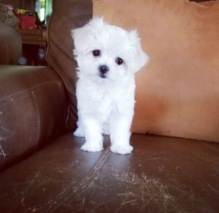 Maltese Puppy For Sale In Los Angeles Ca Adn 37517 On
