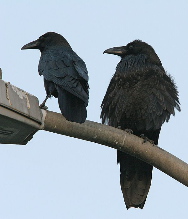 how to get rid of crows in my backyard