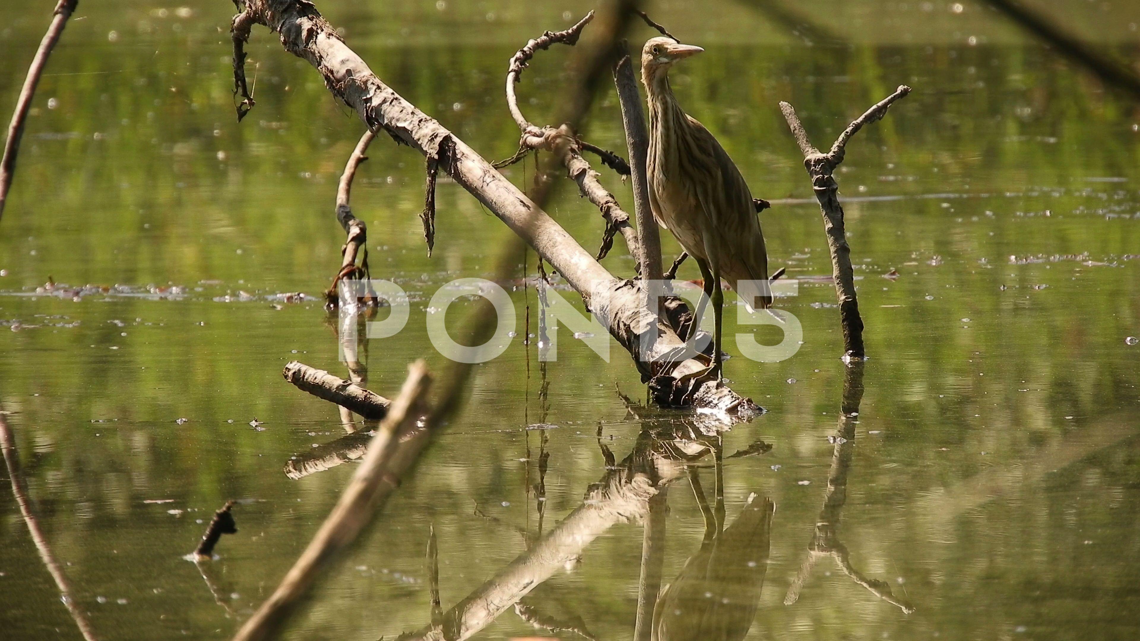 Squacco heron (Sgarza ciuffetto) in the waters of the pond