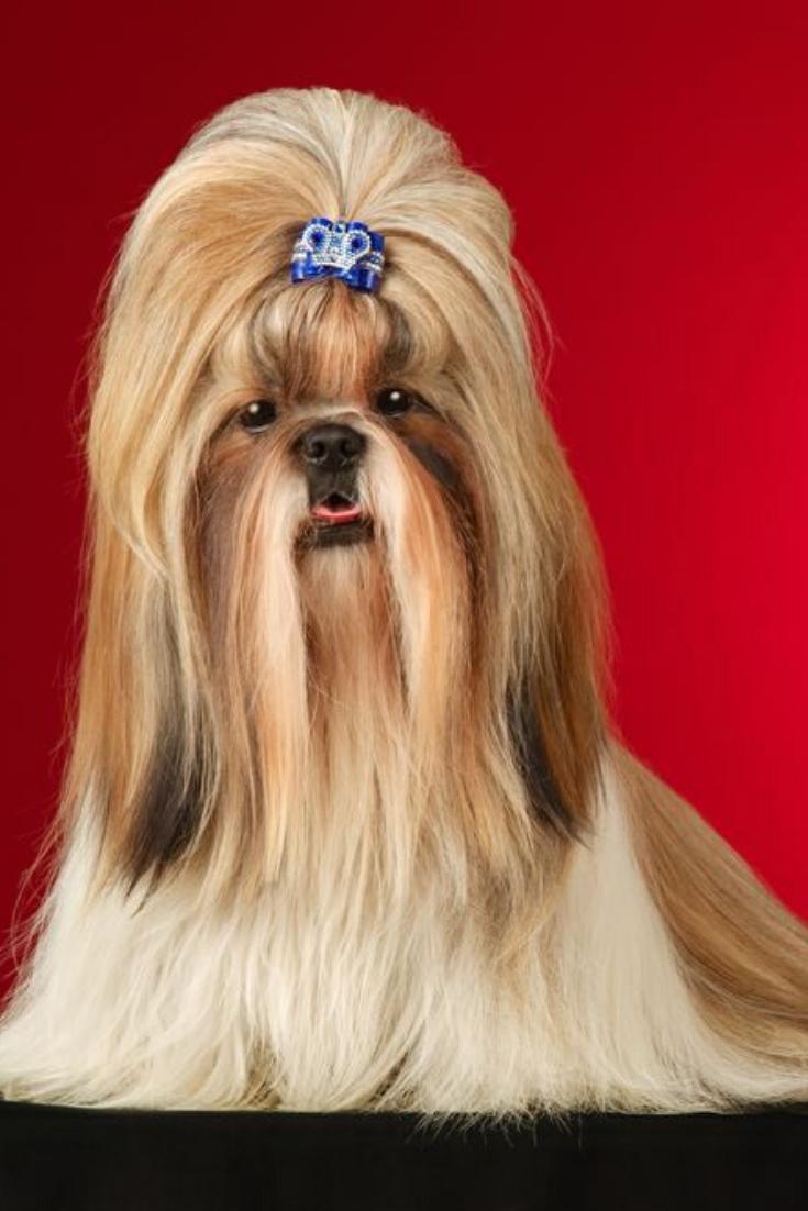 Shih Tzu Dog With Blue Hairpin Shot Full Face In Studio On Wine Red Background Shihtzu Shih Tzu Dog Shih Tzu Dogs