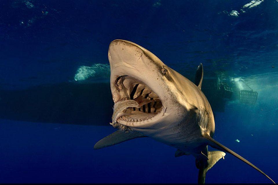 Un tiburon blanco