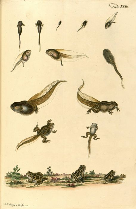 Image result for tadpole old print