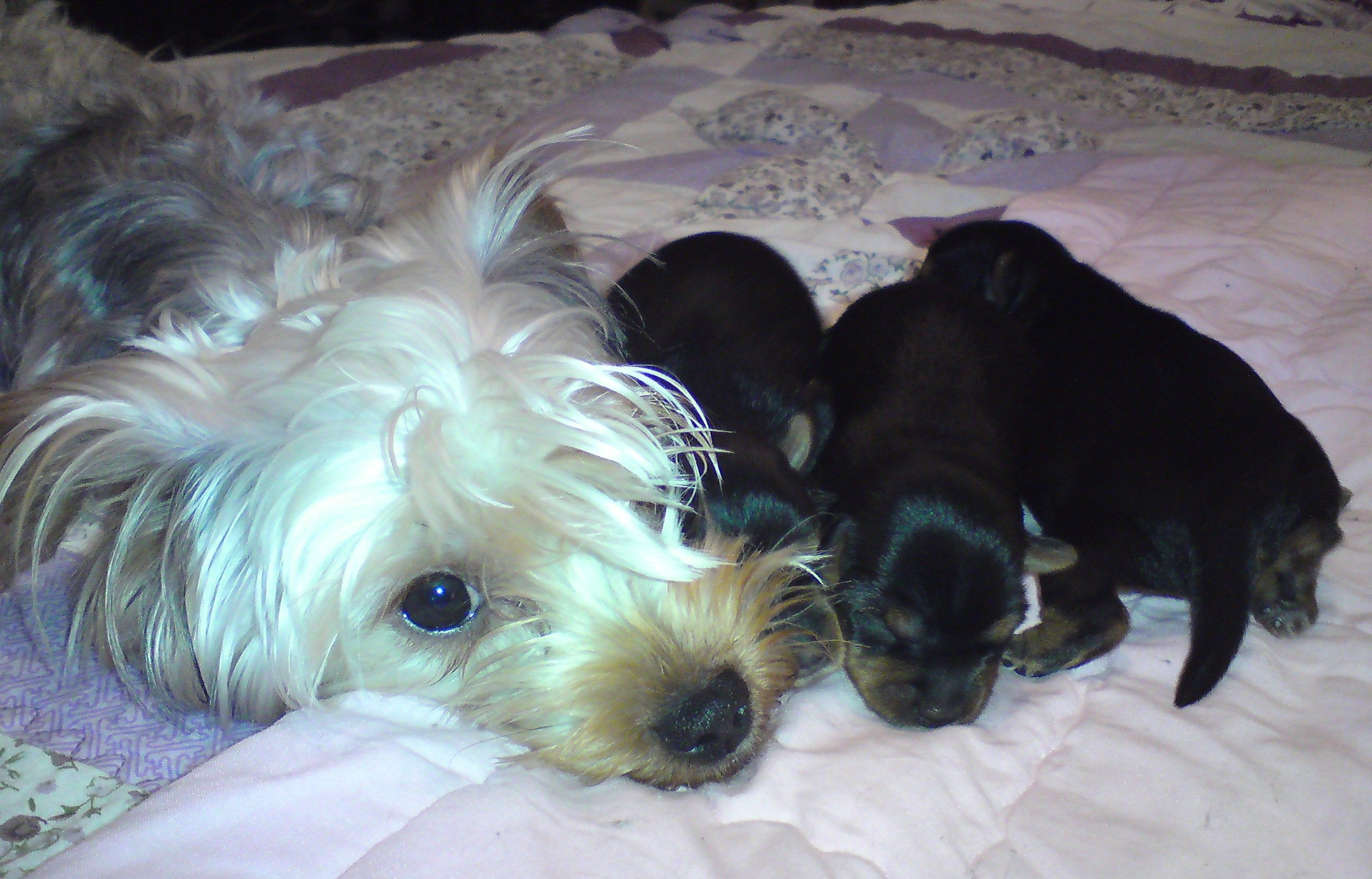 Chilli With Her First Litter With Images Yorkie Litter Dogs