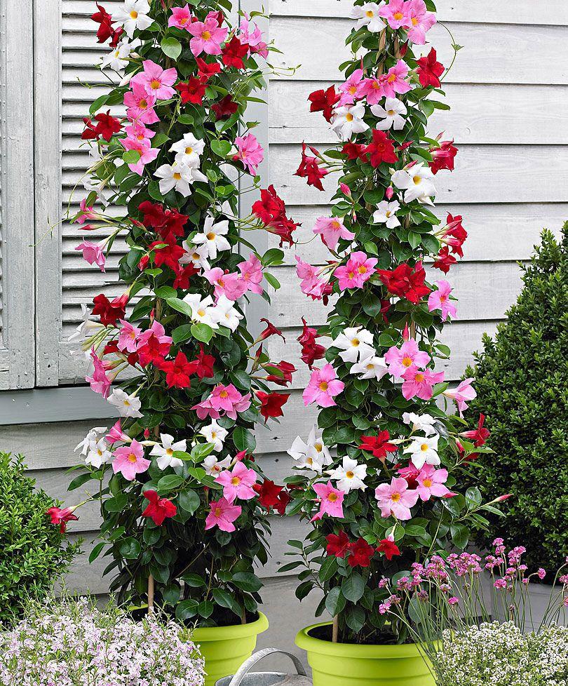 jasmin du chili diplad nia gardening pinterest fleur du jardin du jardin et c r monie. Black Bedroom Furniture Sets. Home Design Ideas