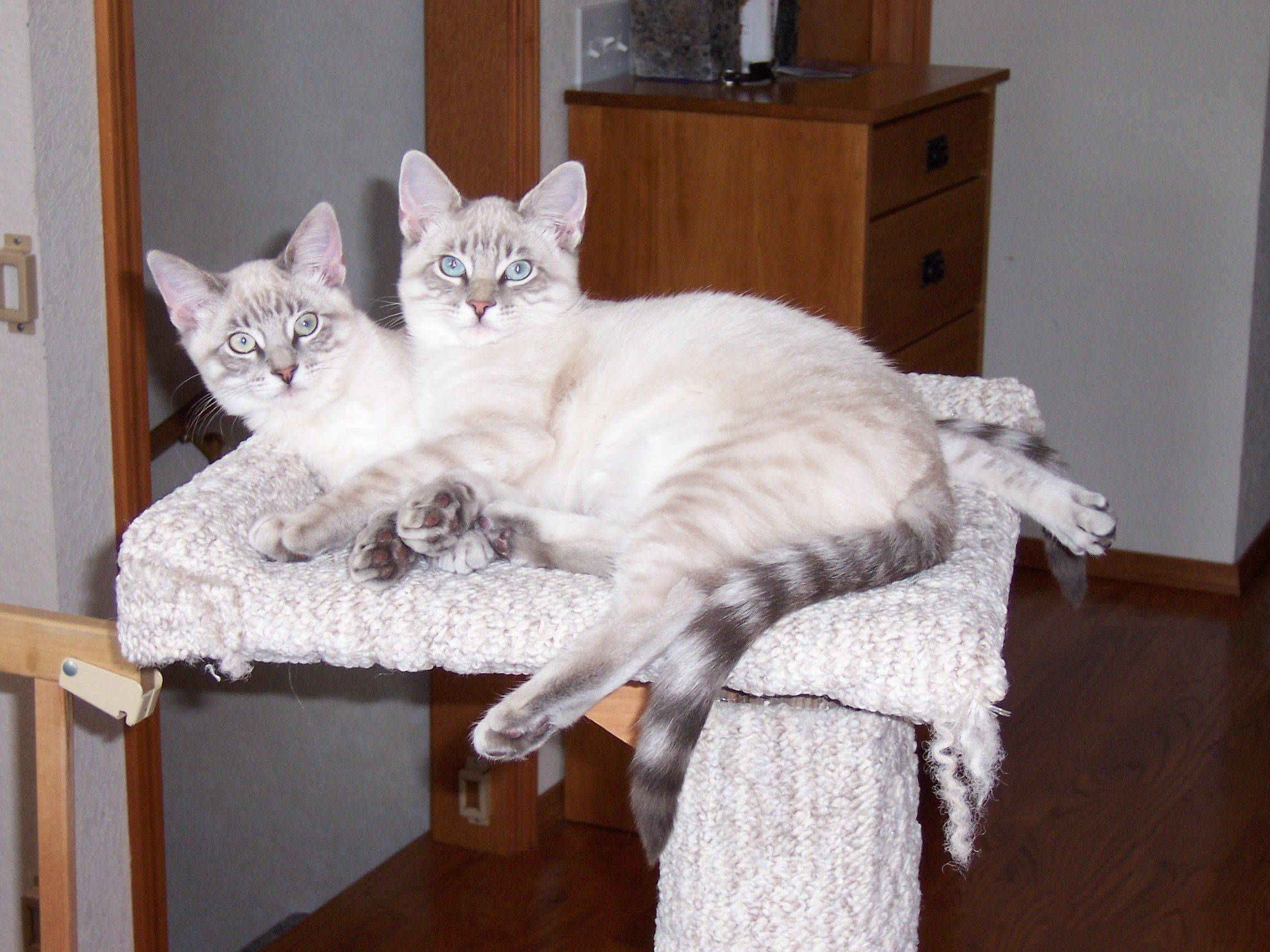 Lynx Point Siamese Tabby Mix Siamese Cats Siamese Cats Blue Point Abyssinian Cats