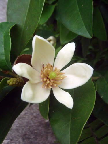 Banana Shrub Flower Looks Like Magnolia But Smells Like Banana