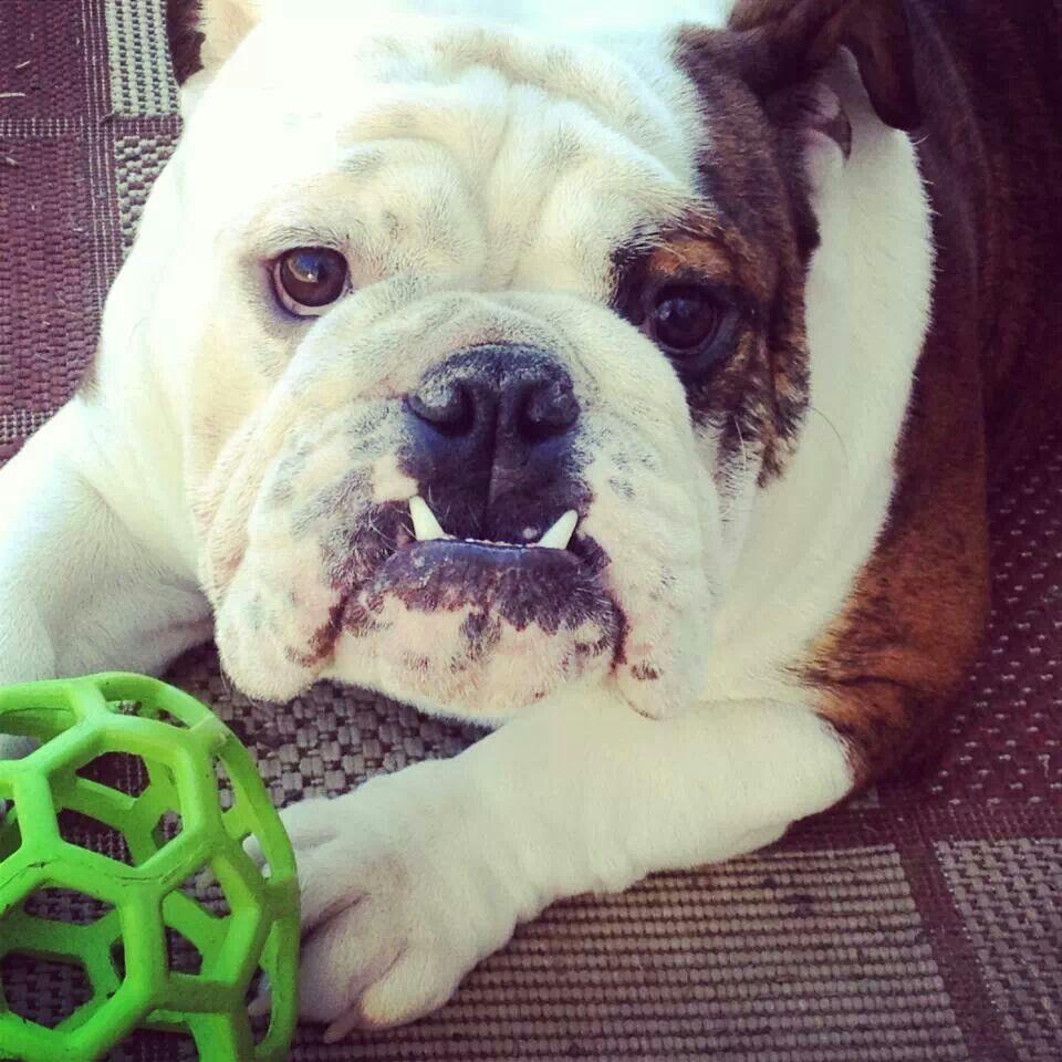 Idea By Lavica Marano On Cautee I Love Dogs English Bulldog