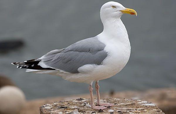 american herring gull | American herring gull in 2020 | Herring gull, Gull, Sea birds
