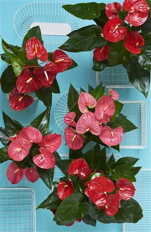 Big plants create big things ©Anthura #anthurium #BigAmerican #pink #red
