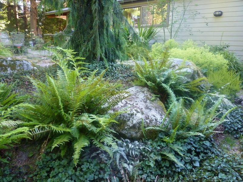 Sword Fern2 | Garden Ideas | Pinterest | Ferns garden, Fern and Gardens