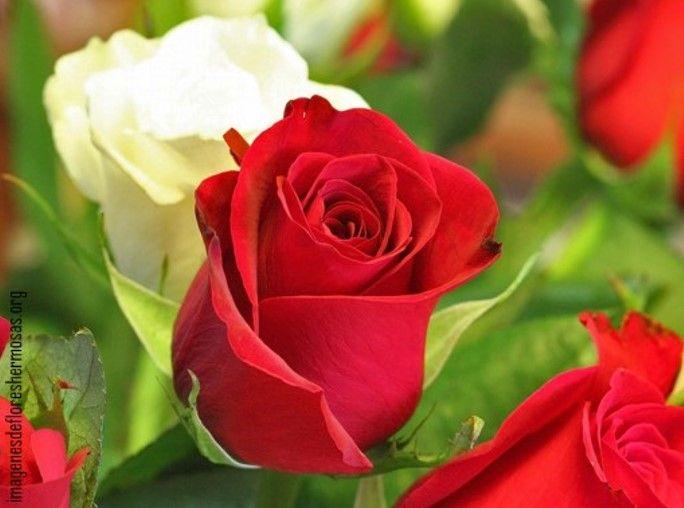 Imagenes De Rosas Para Descargar Para El Celular Imagenes De