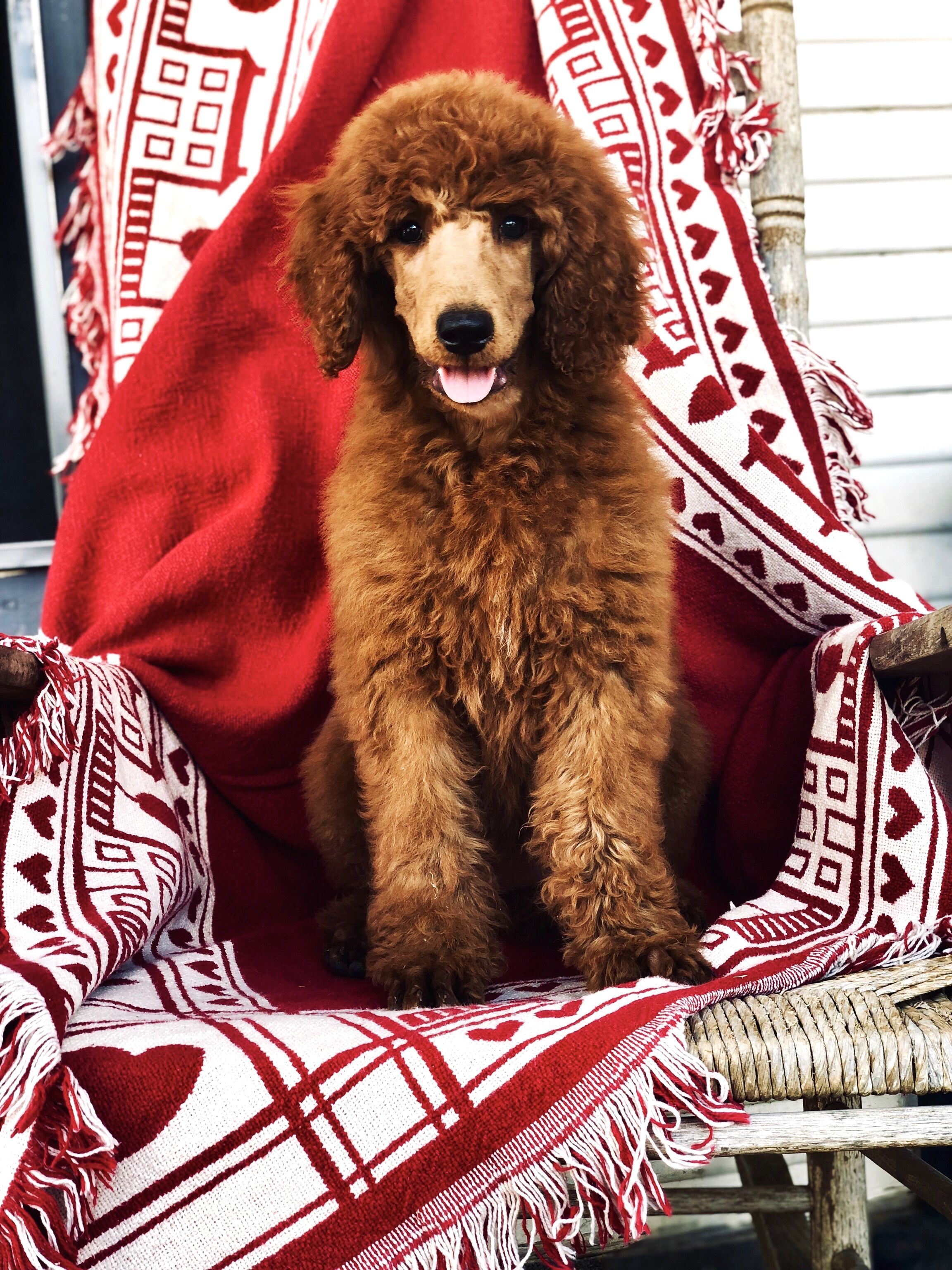 Red Standard Poodle Female From Non Fading Lines Standardpoodle