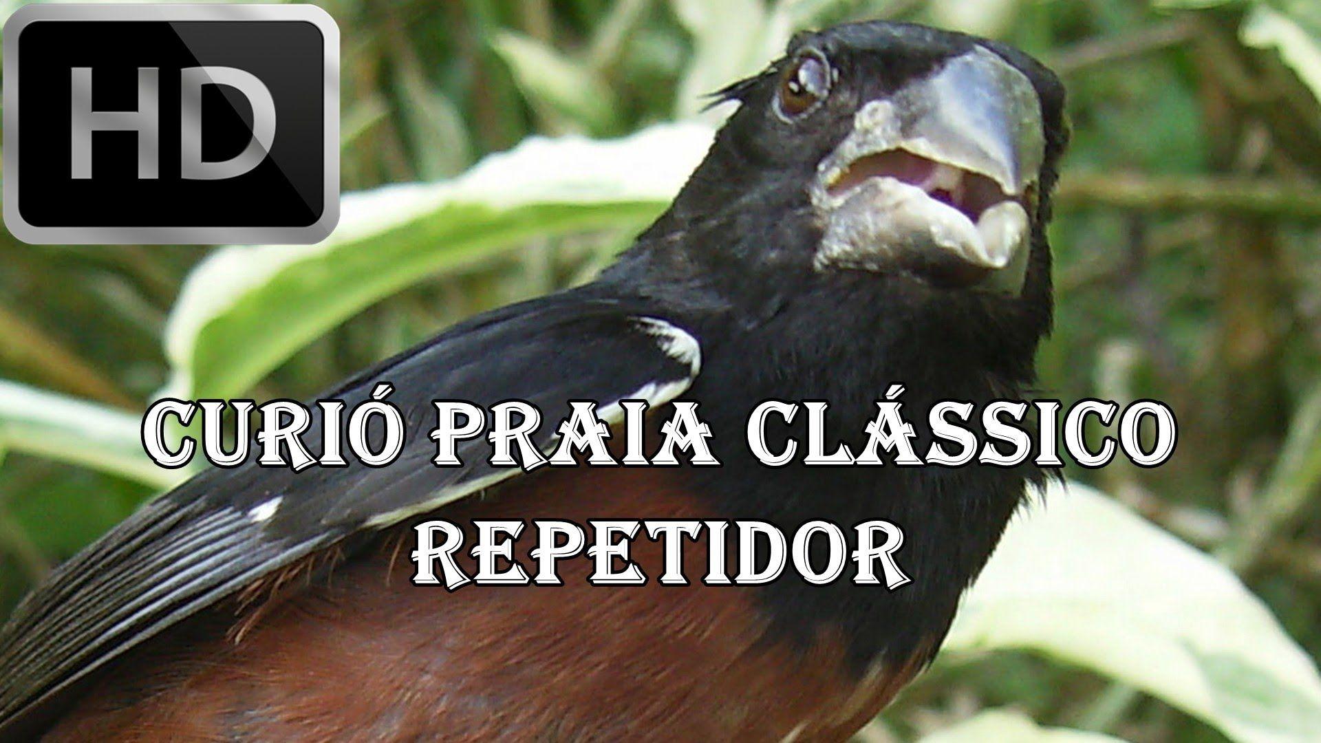 PASSARO CANTO BAIXAR PARA DE CURIO