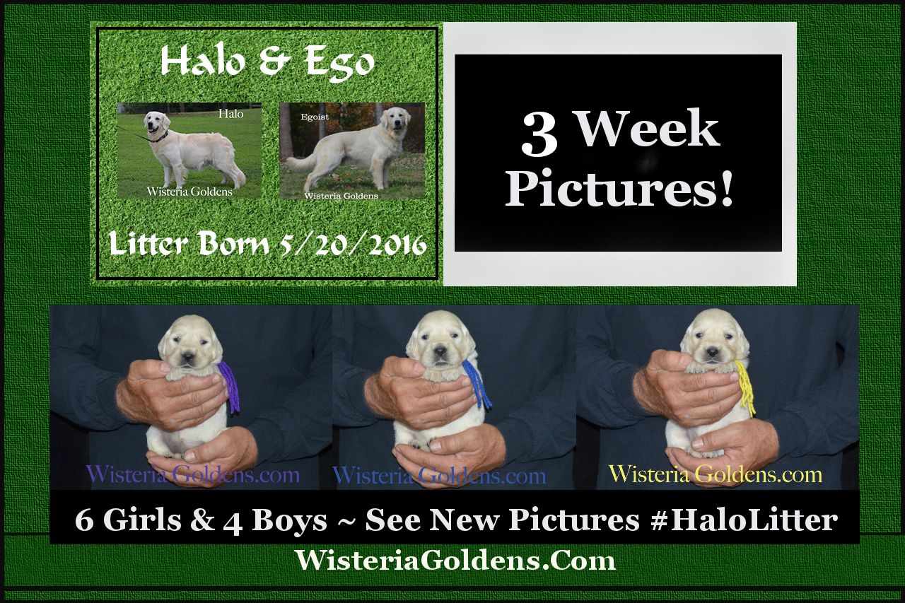New Pictures! Halo Litter three week pictures english