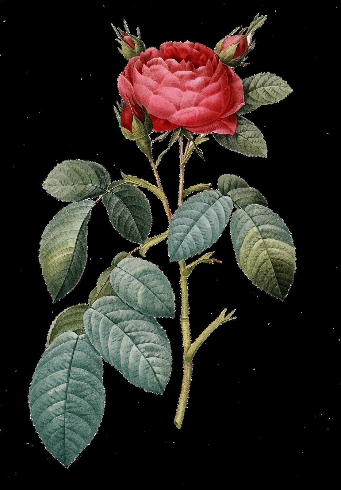 Vintage Flower Png Botanical Drawings Vintage Flowers Rose Illustration