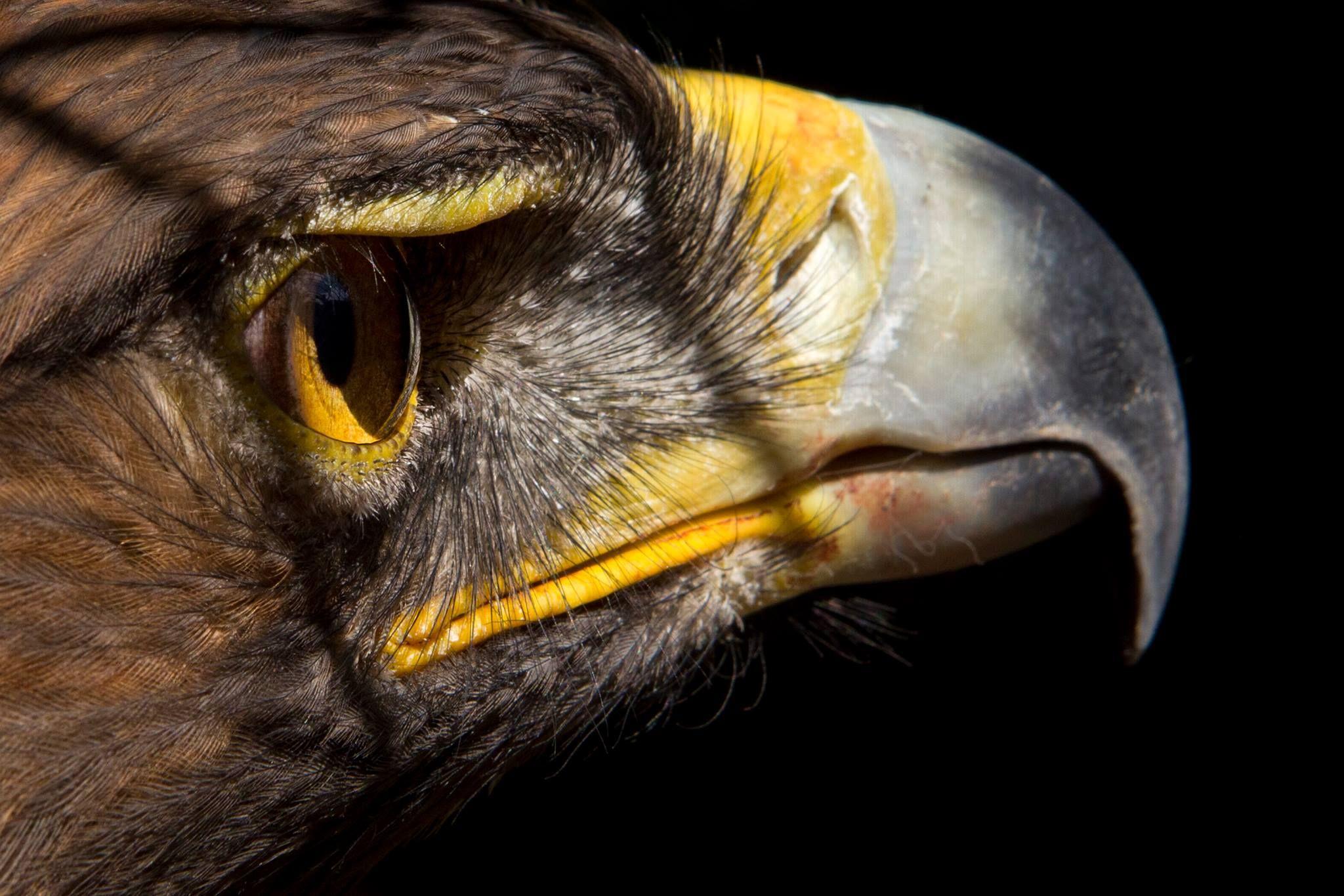 Minería, parques eólicos e infraestructura eléctrica amenazan al águila real: Conanp http://lajor.mx/11vqJ90  Tan sólo hay 145 nidos confirmados y 81 parejas detectadas.  Foto archivo: José Carlo González / La Jornada
