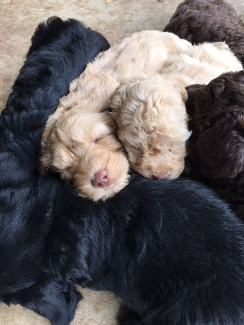 Australian Labradoodle Puppies For Sale From Labradoodle Puppies