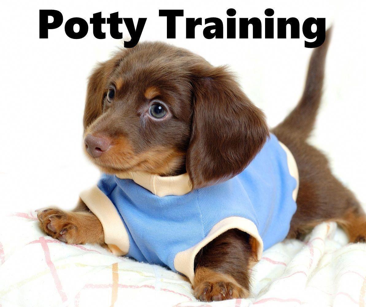 Dachshund Puppies How To Potty Train A Dachshund Puppy Dachshund