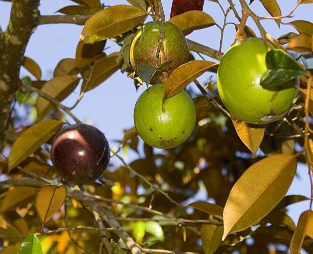 ~POMA ROSA~ SACRED FRUIT TREE Syzygium Jambos ROSE APPLE Large Potd 3-4' Plant