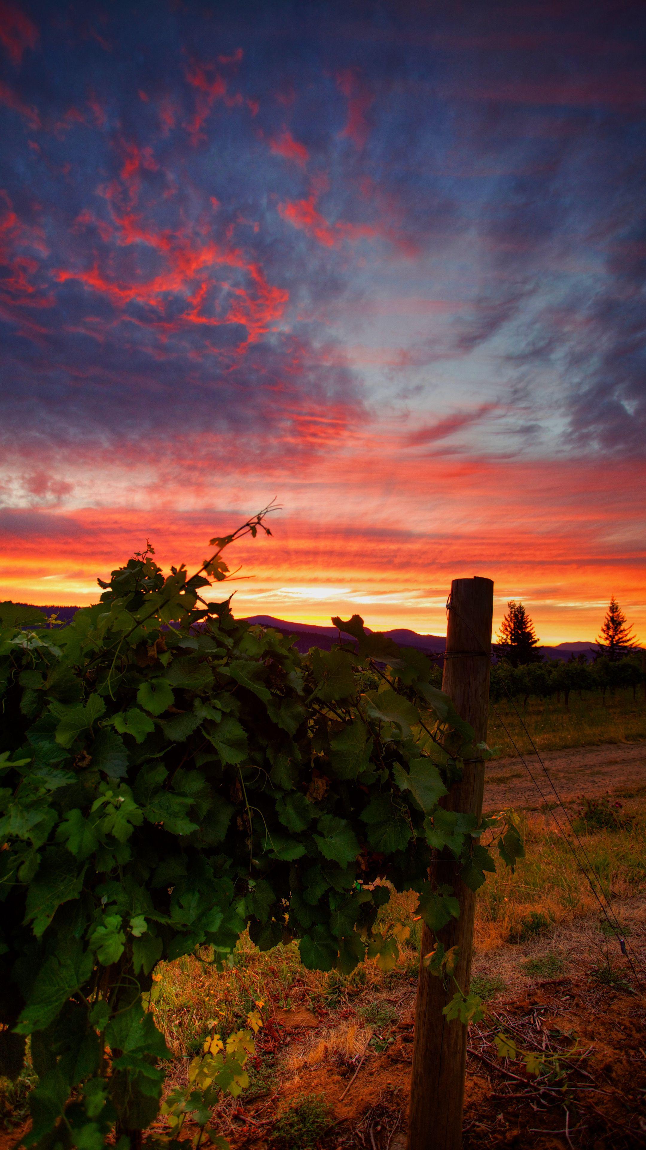 Nature vineyard sunset grass wallpapers hd 4k