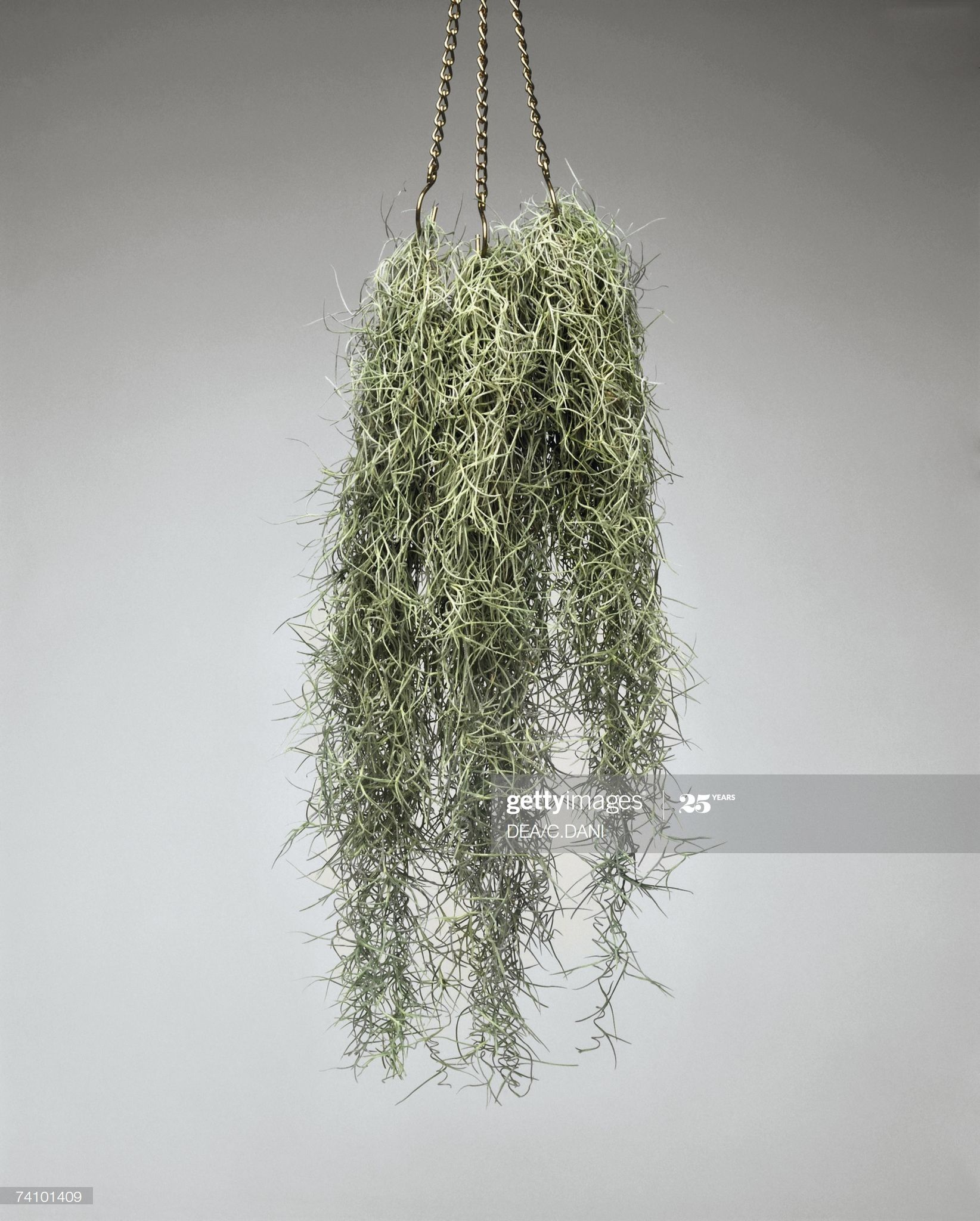 Close-up of Spanish moss hanging from a basket | Spanish ...