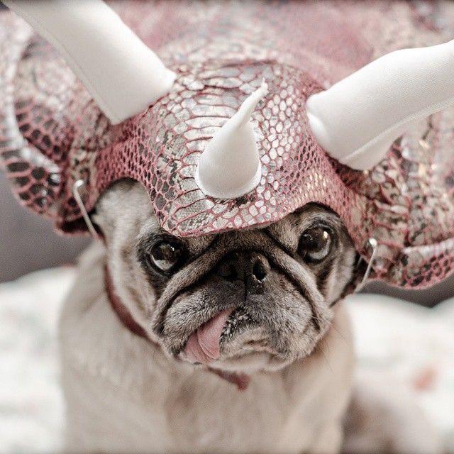 #pugs #puglife #pugsofinstagram #pearlthepug #friday #triceropug