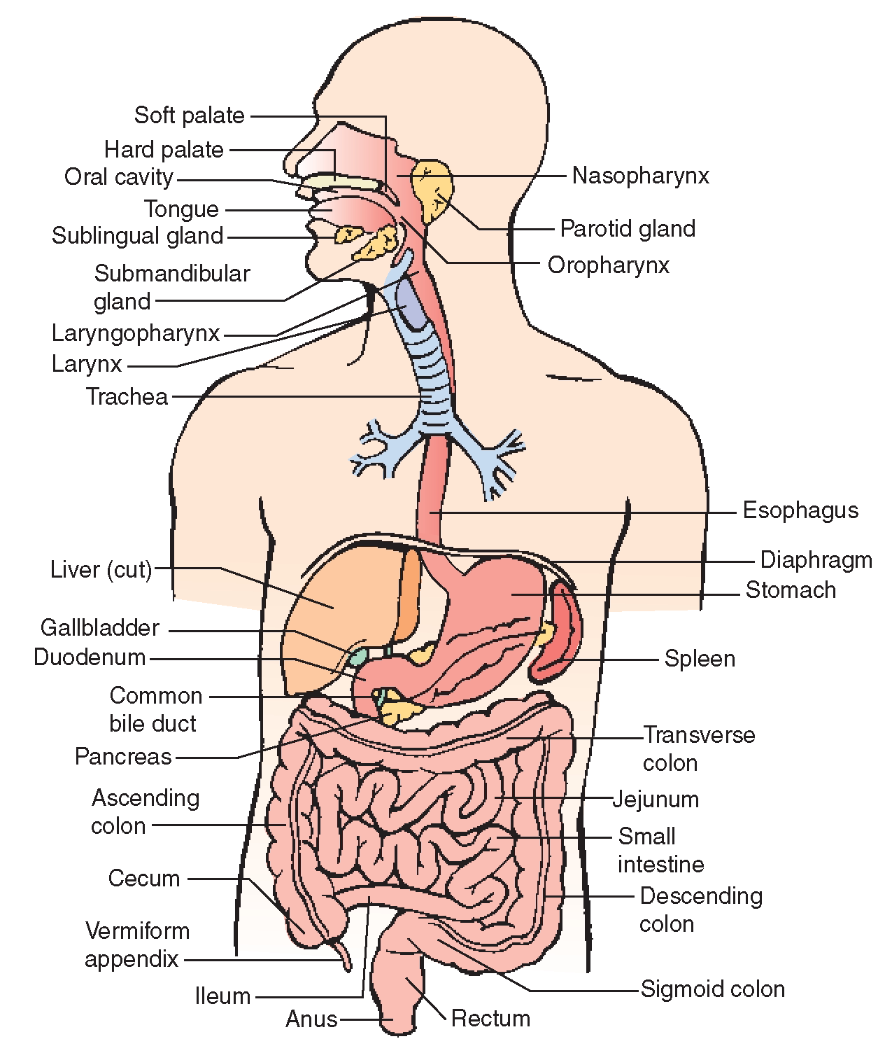 hight resolution of a picture labeling all the parts in the digestive system