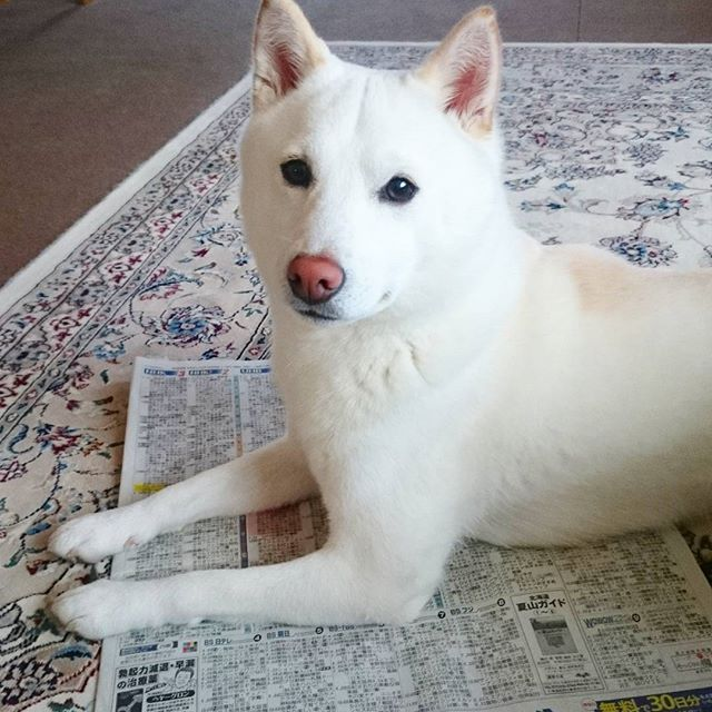 新聞は読ません Shibainu Whiteshiba 大好き 長生きしてね 家族 愛犬 柴マニア 白柴 柴犬 お散歩 散歩 犬 白 柴犬 白い犬