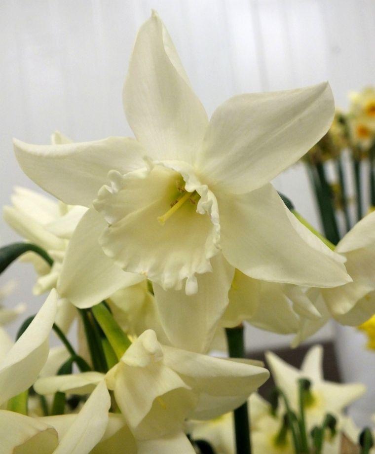 Narcissus Starlight Sensation Narcissus Bulb Flowers Flower Show