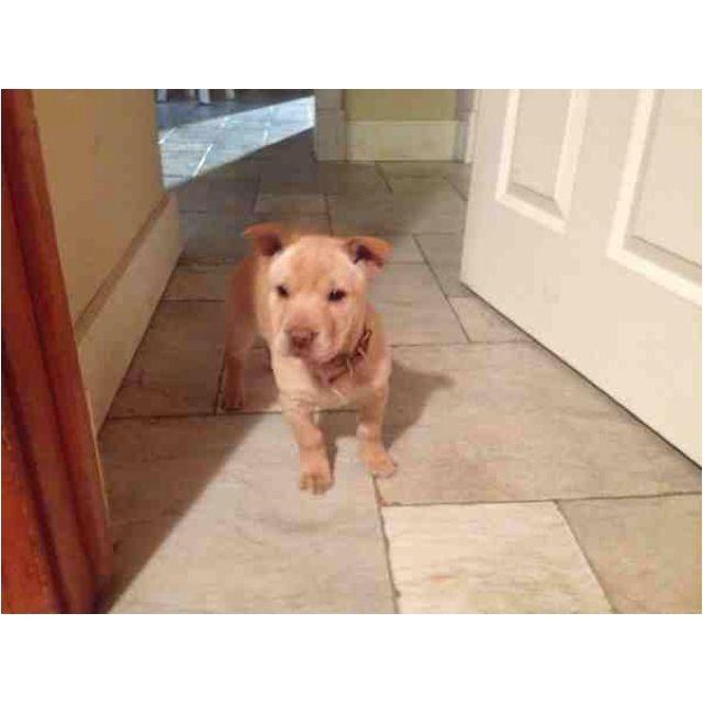 A Shar Pei Chihuahua Mix Cute Dogs Shar Pei Puppies Puppies