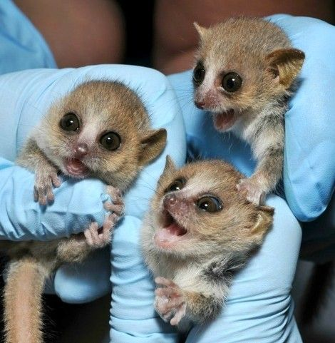 These are baby Gray Mouse Lemurs (Microcebus murinus) that were born at the Duke Lemur Center as part of a special breeding program.