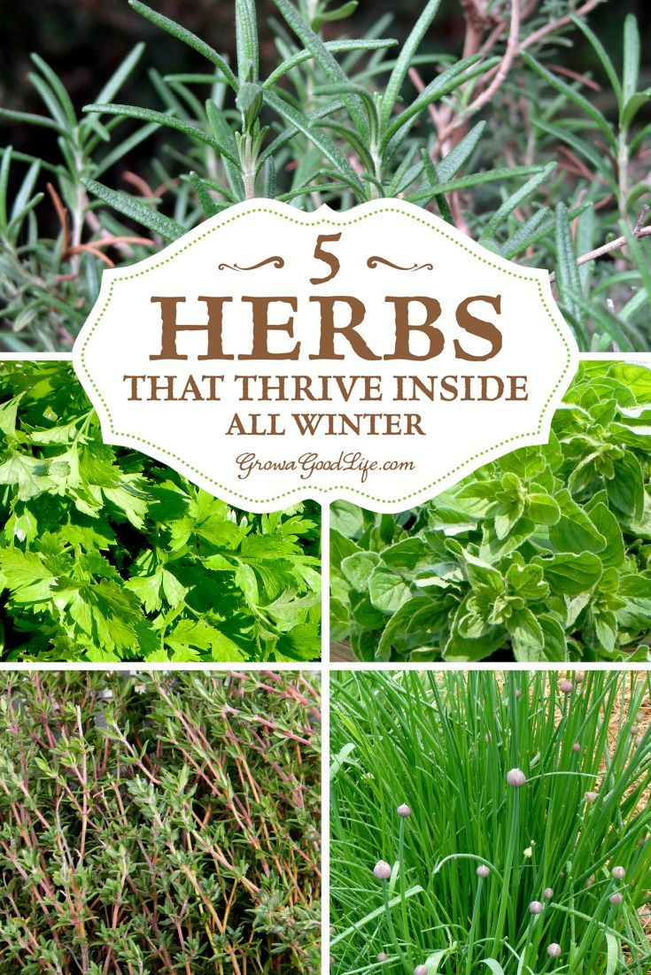 Start an indoor windowsill herb garden so you can enjoy fresh herbs all winter. I've experimented over the years with growing herbs inside during the winter. There are plenty of herbs that can be grown successfully through winter on a sunny windowsill. Here are my top 5 herbs that thrive indoors all winter.:
