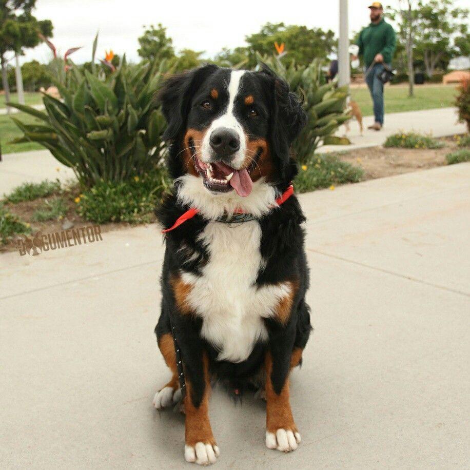 Leo Bernese Mountain Dog 1 Yo Ntc Park Hes A Giant Goof