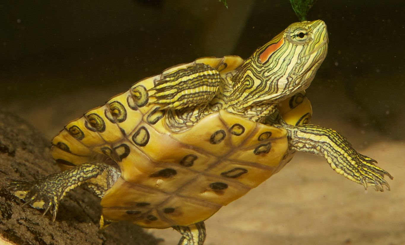 Red Ear Slider Zoo Med Laboratories, Inc. in 2020 Red