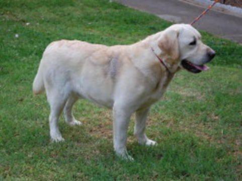 Labrador Retriever Puppy For Sale In Jackson Mi Adn 42061 On Puppyfinder Com Gender Male Age 3 Week Labrador Retriever Puppies Labrador Retriever Labrador