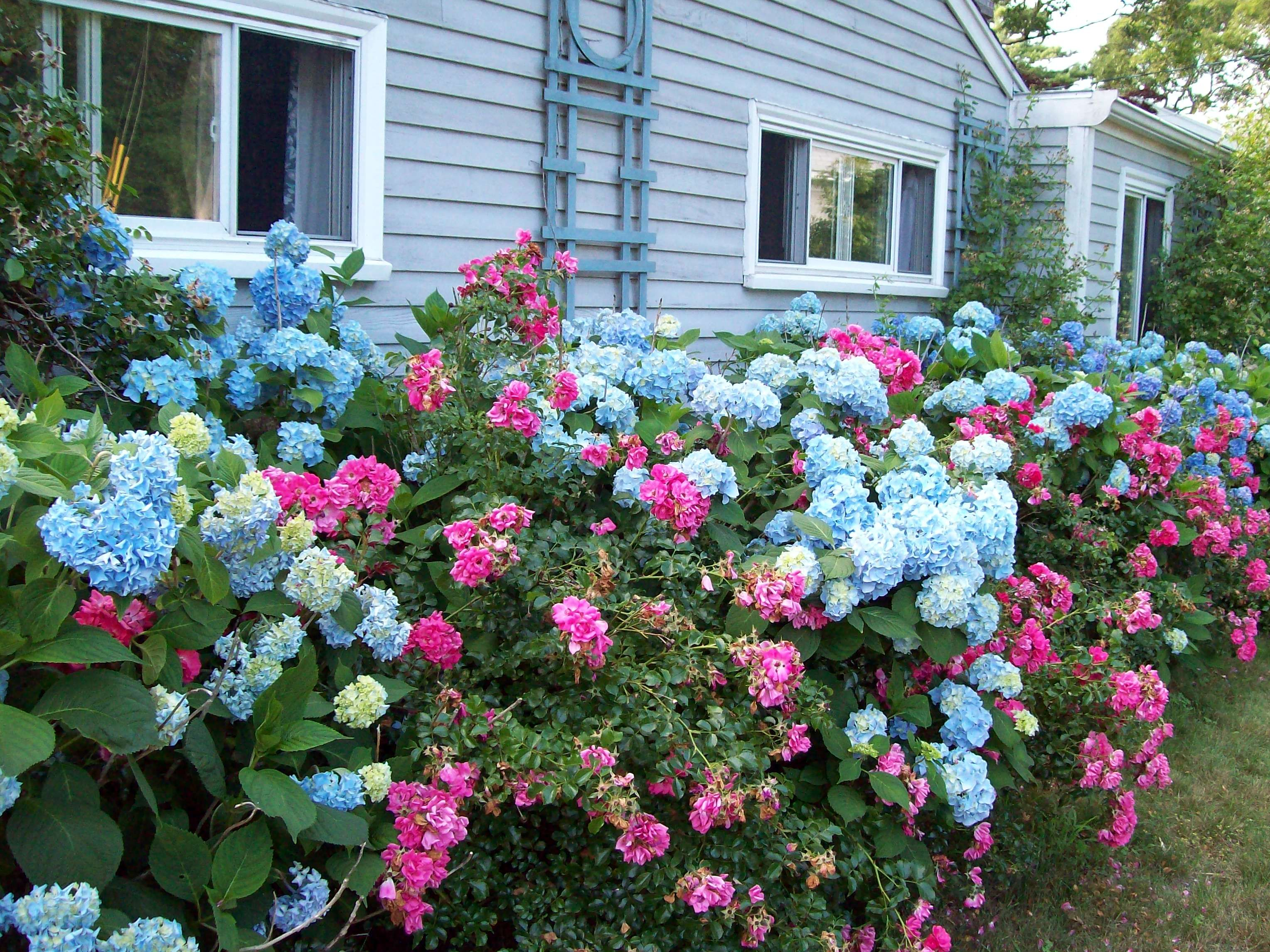 Blue Hydrangeas And Pink Roses Landscaping With Roses Rose Garden Design Hydrangea Landscaping
