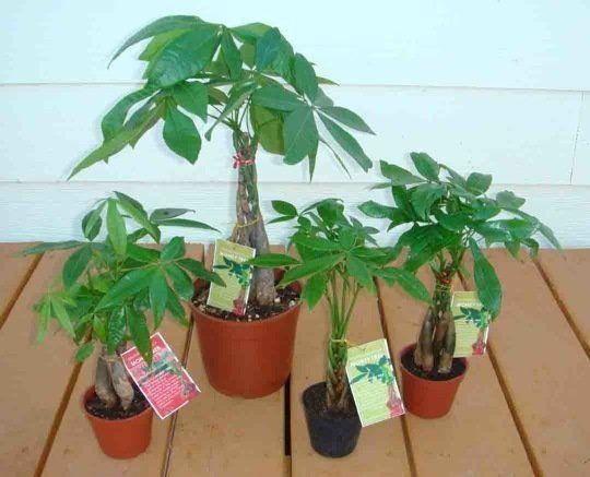 Indoor Tree! The Easiest Ever: Pachira Aquatica | Trees ...