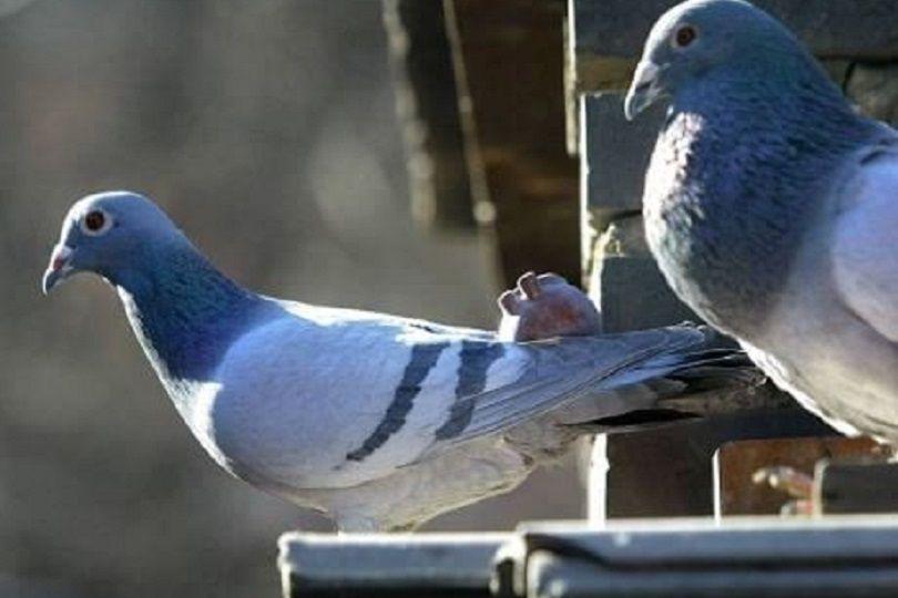 Come allontanare i piccioni dal proprio balcone e dal terrazzo ...