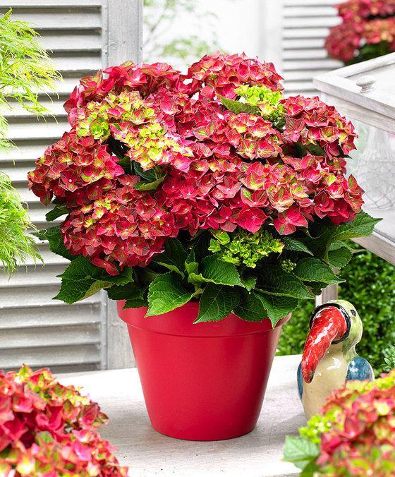 Magical® Hortensja 'Ruby Tuesday'   Гортензия, Растения, Цветы