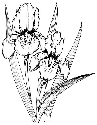 How To Draw An Iris In 5 Steps Flower Line Drawings Iris Drawing Flower Drawing