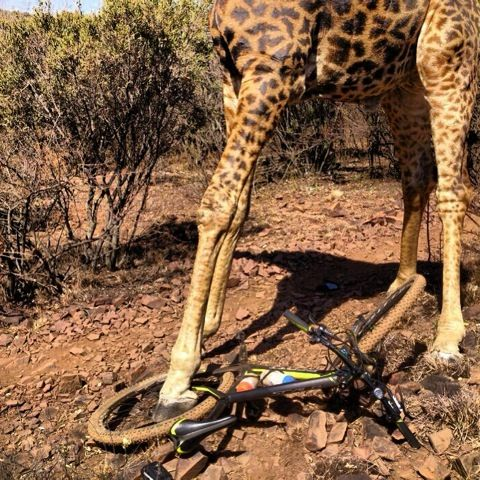 Giraffe Chases Mountainbike Cyclist In South Africa I Ran Into
