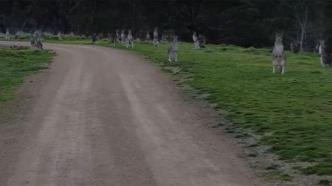 Mob of kangaroos stare down cyclist