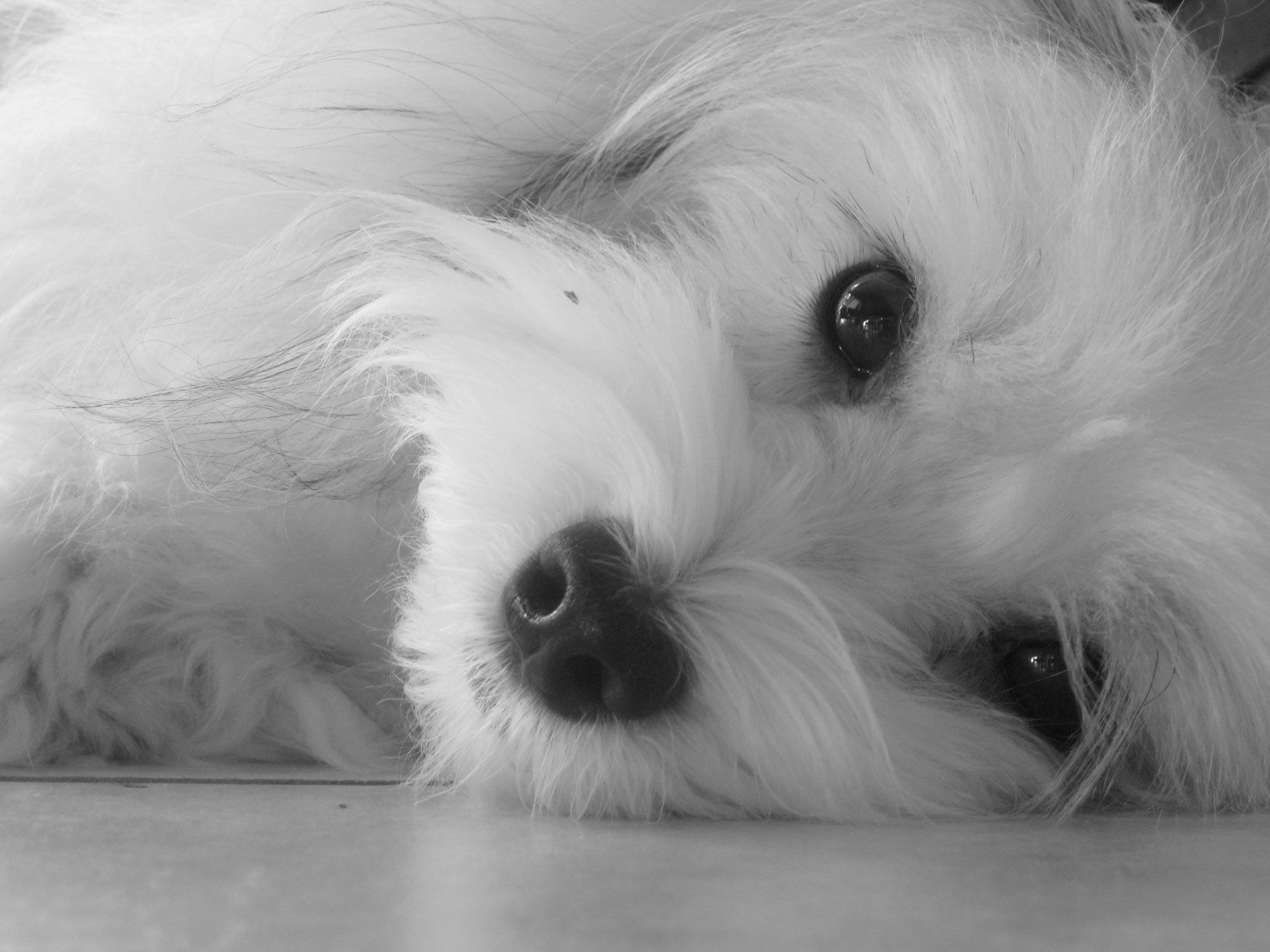 Black White Photo Of Havanese Wallpaper Black And White Dog Havanese White Dogs