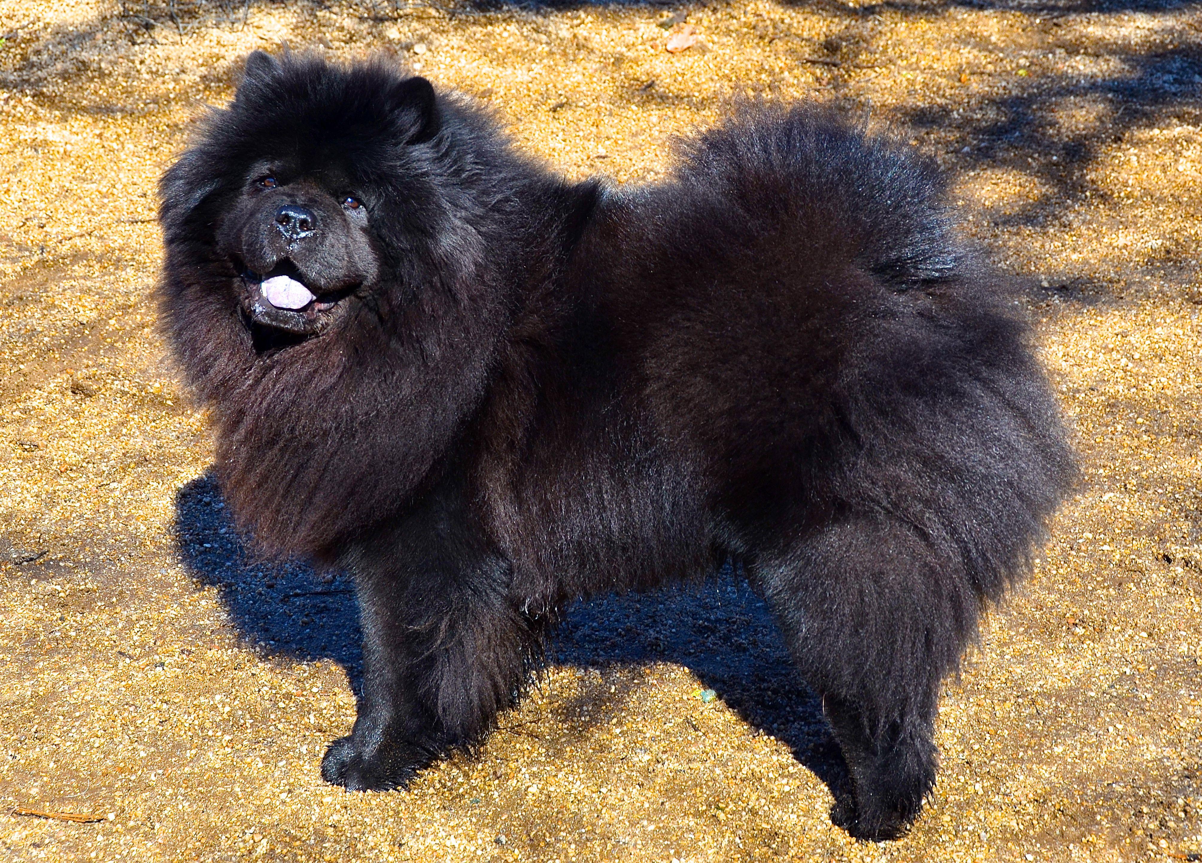 Chow Chow Black Chow Chow Chow Chow Dog Puppy Chow Chow