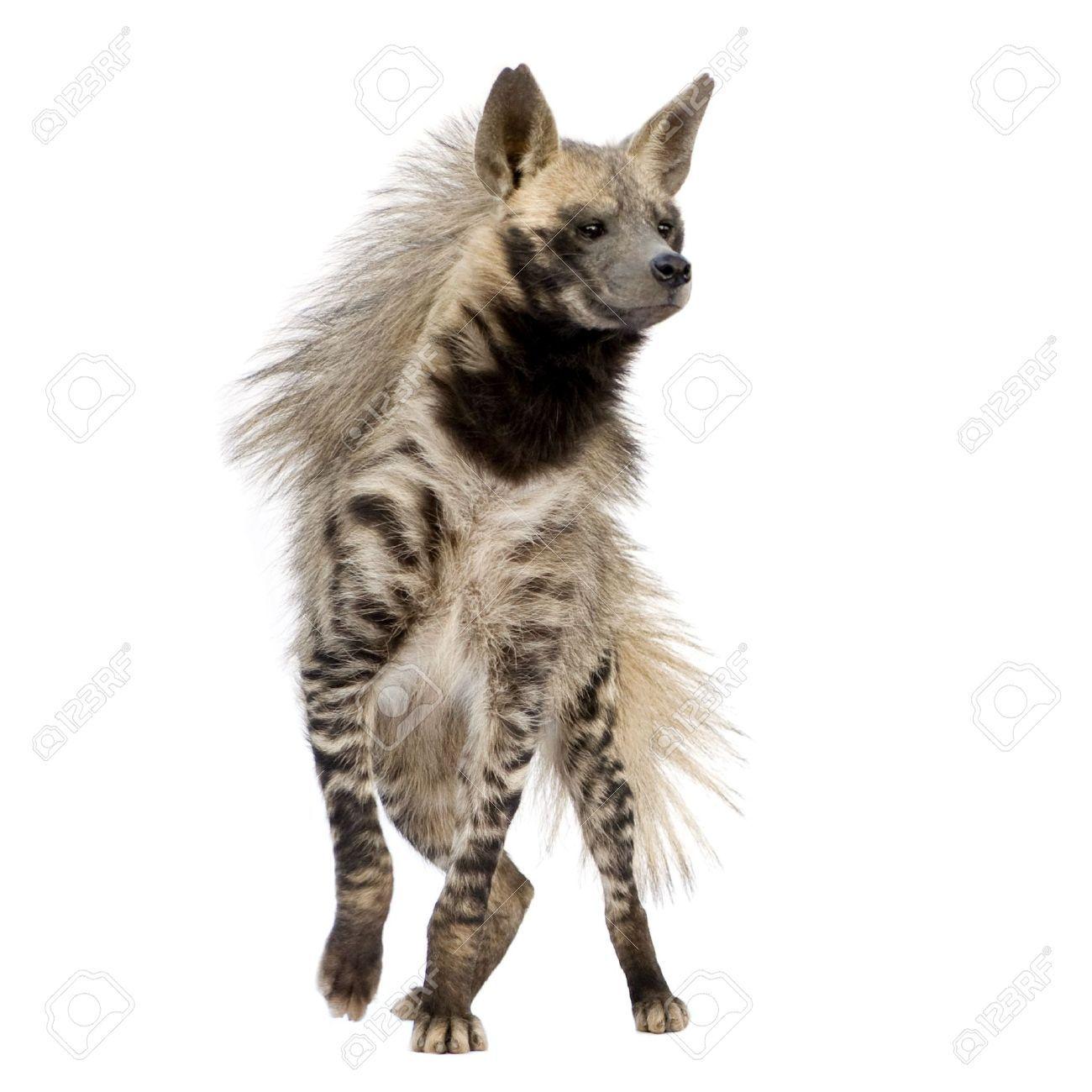 Hyena - Buscar con Google