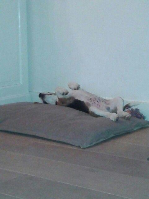 Our beagle Skip. Sleeping like a boss Baby beagle