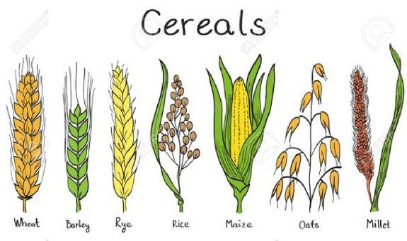 Los Cereales Como Diferenciar El Trigo De Centeno Y Cebada Rice Plant Barley Plant Barley