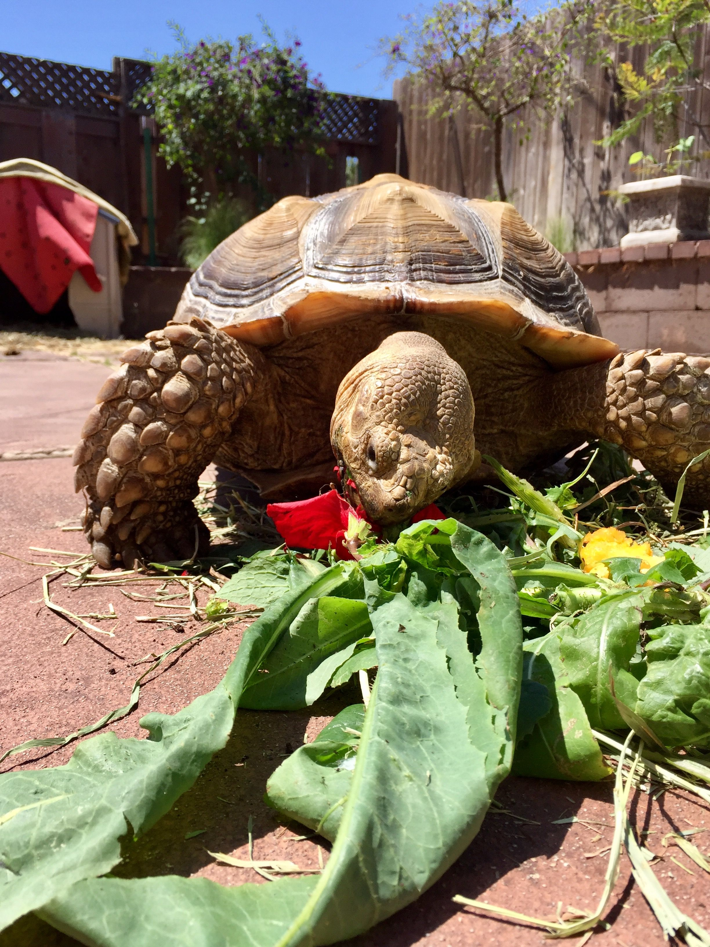 Enjoying His Lunch Romaine Dried Timothy Hay Dandelions Hibiscus